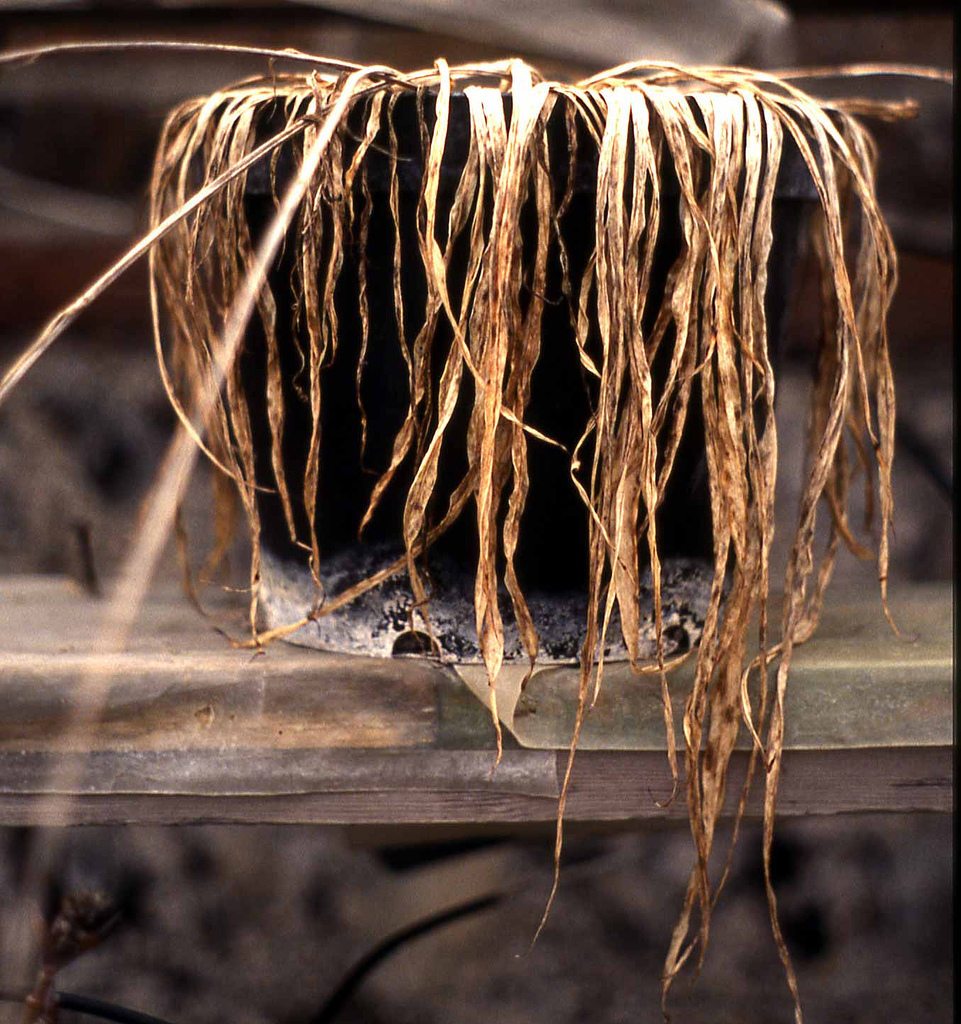 dried, brown and wilted fern plant in black pot on wooden shelf