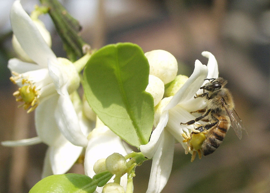 Bee perched on white flower on a tree branch