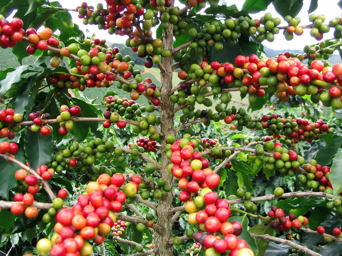 Skinny trunk of coffee plant with many branches loaded with red, green and yellow berries