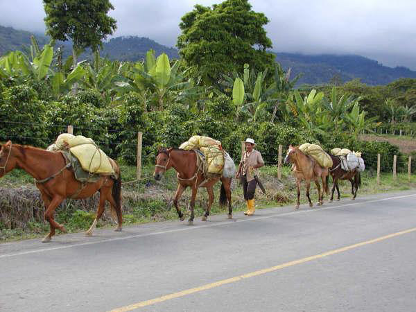 Farmer walks with four horses laden with coffee bags, coffee plants in background
