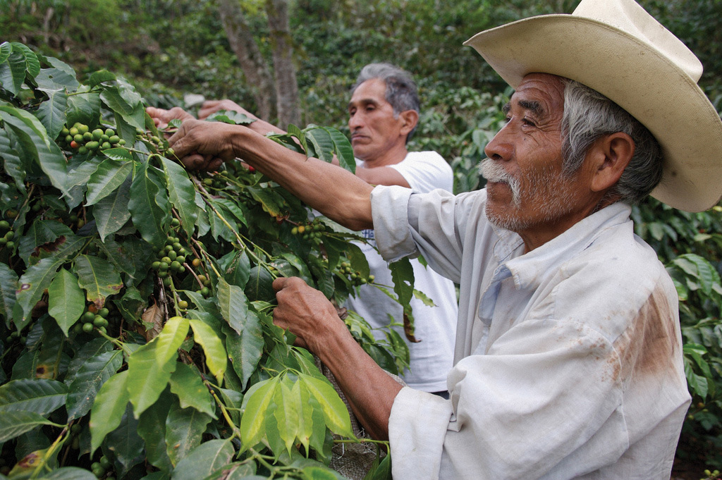 Two older South American men picking fruit from coffee trees