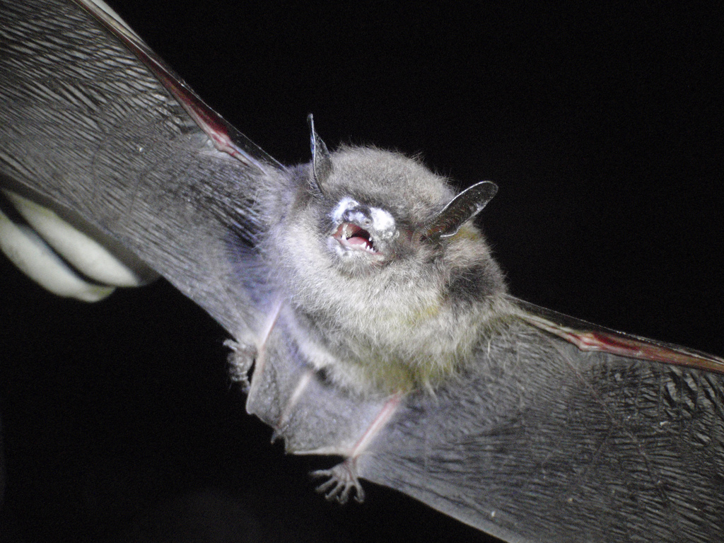 Gloved hand holding bat with wings stretched out, bat's mouth is open; nose covered in white fungus