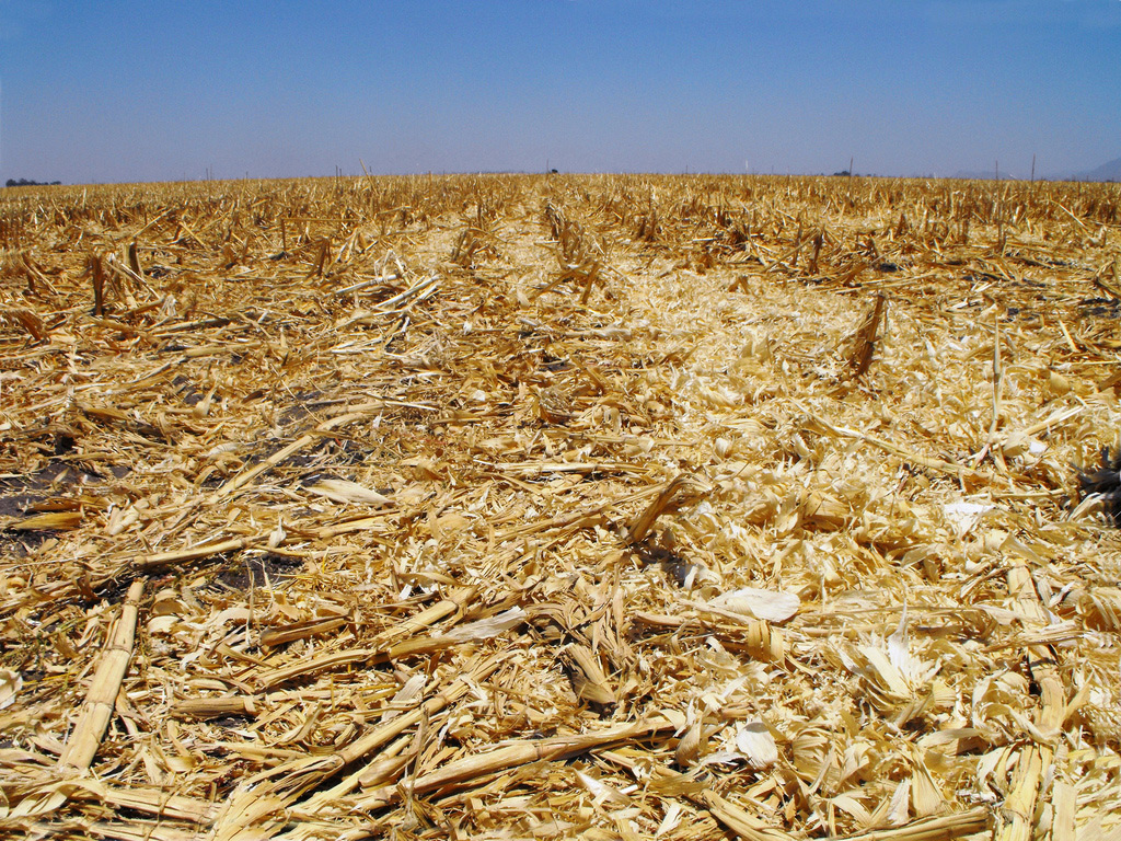 Crop field covered in thick layer of dry yellow residue from maize