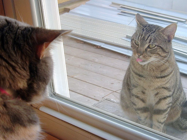 Tabby Cat With Tongue Sticking Out Starting Inside Window Back Of Another S Head