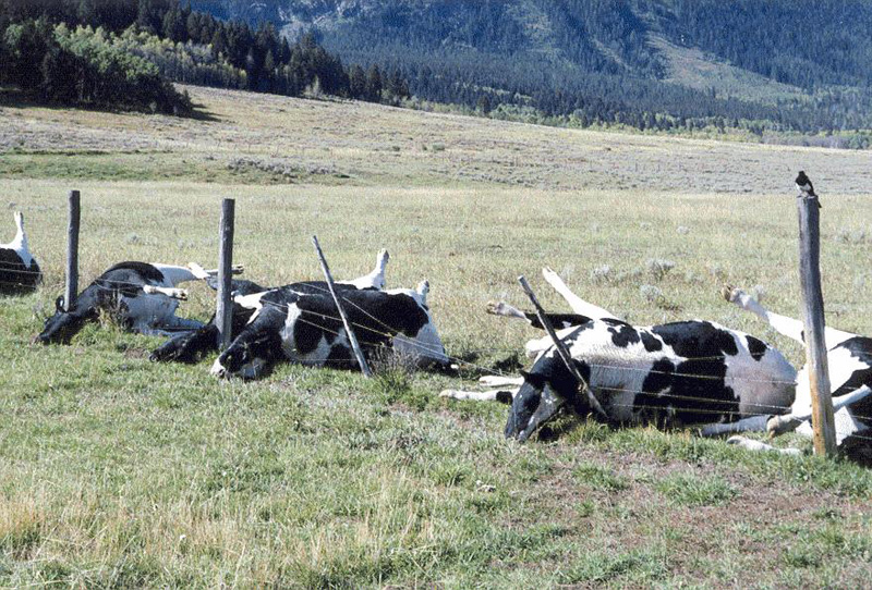 Seven black and white cows lie dead along a barbed wire fence in a pasture.