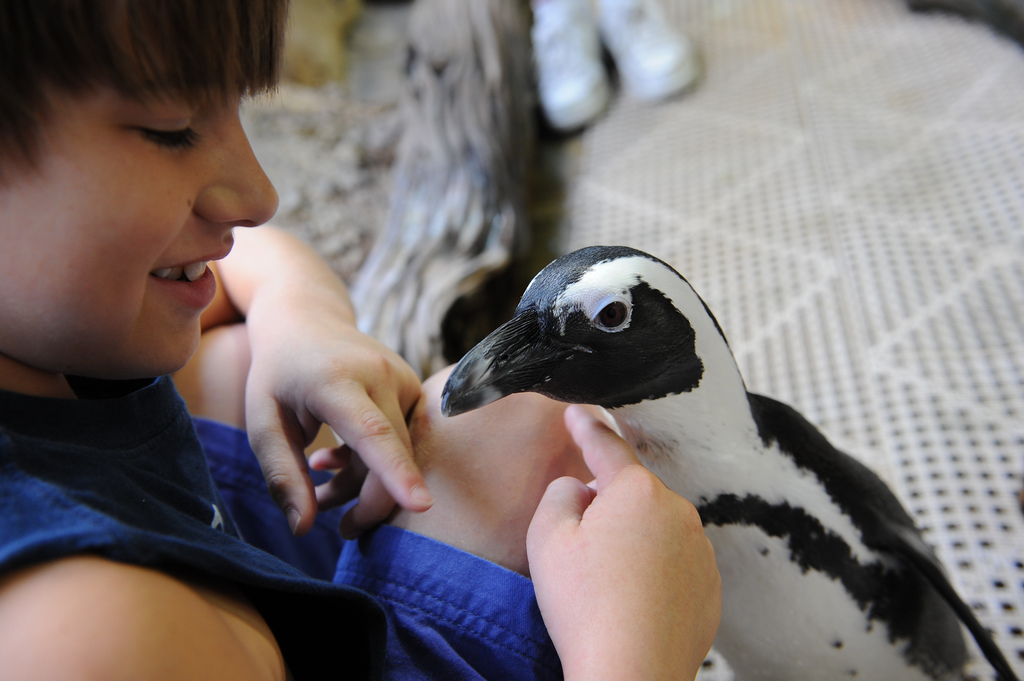Young boy in blue t-shirt stroking the chest of a black and white penguin