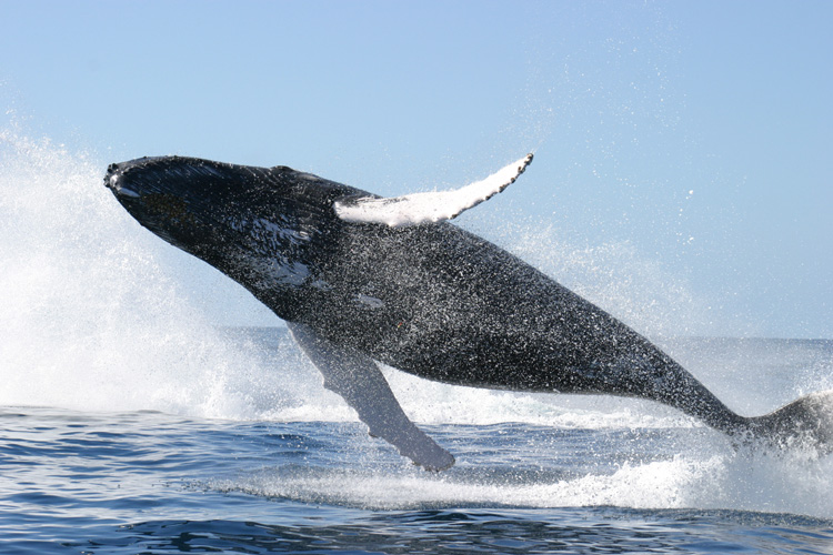 View of underbelly of a whale leaping full body out of ocean, splash from another whale behind it
