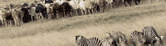 zebra in foreground, cattle in background