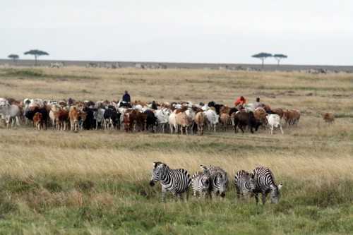 Cattle, wildlife: No real conflict?
