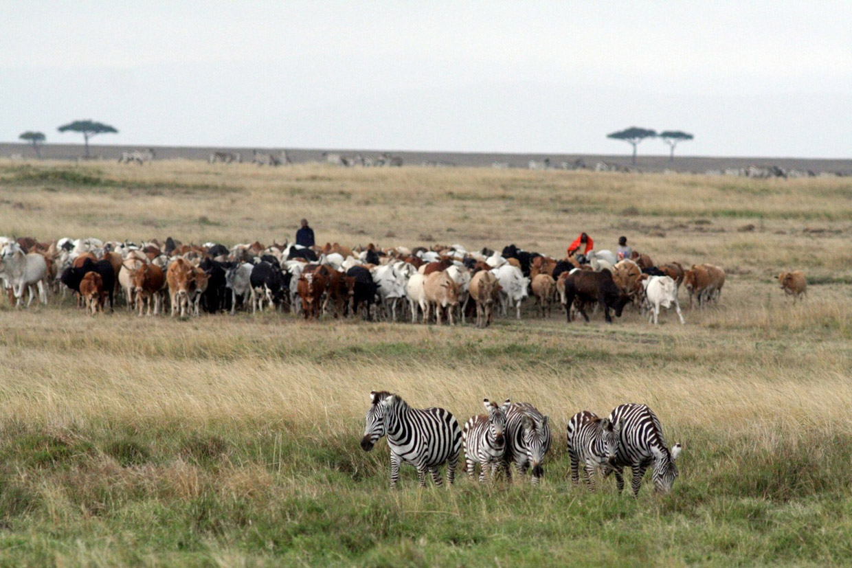 Herd of cattle clumped together on grassland, three men stand with them, five zebras stand in foreground