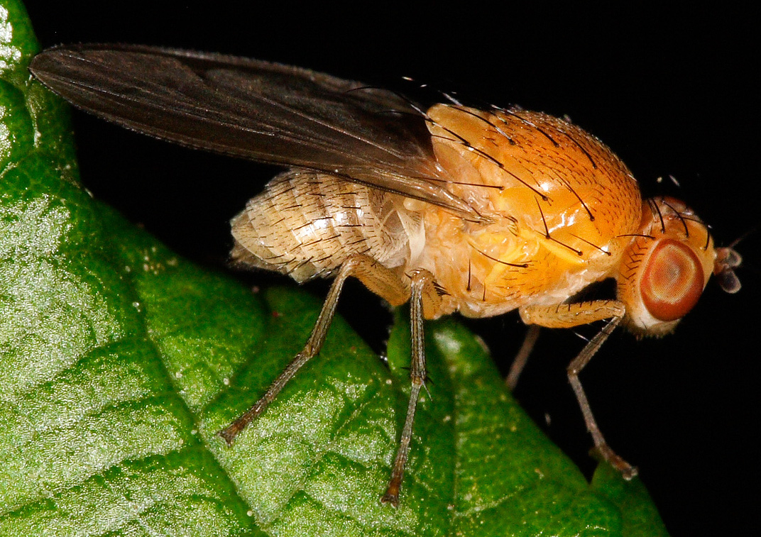 Yellow-orange fruit fly with big orange eyes, on bright green leaf
