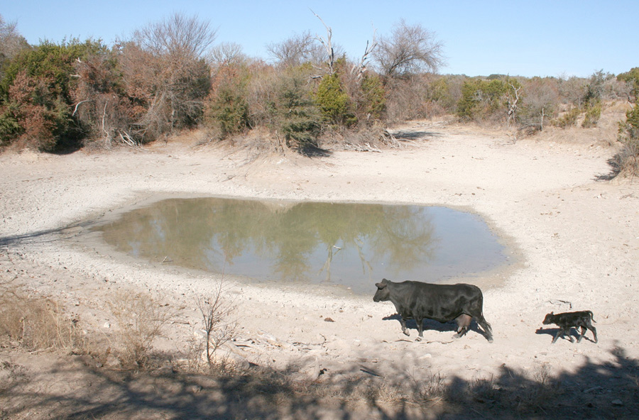 Black mother cow and calf walk toward a shrinking pond surrounded by dry earth