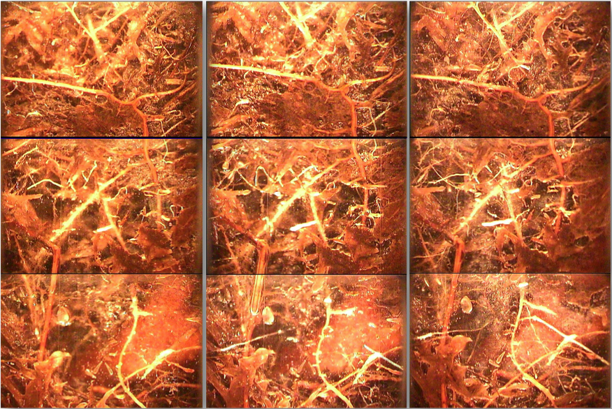 Minirhizotrons took these photos depicting root growth over a three-week period in the summer of 2011. Image courtesy of ORNL.