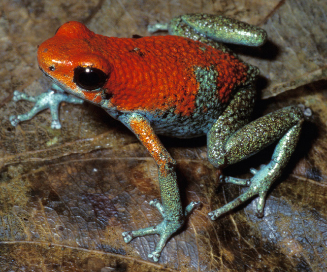 Frog with mostly red body and bluish-green legs sits on brown leaf
