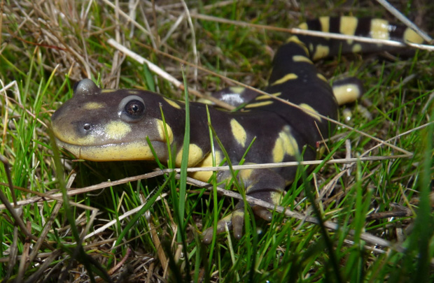 Lizard-like salamander with smooth, black skin and yellow spots crawls in the grass