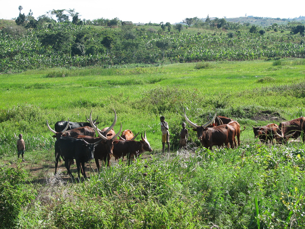 Three African boys stand with a dozen cattle in a marsh
