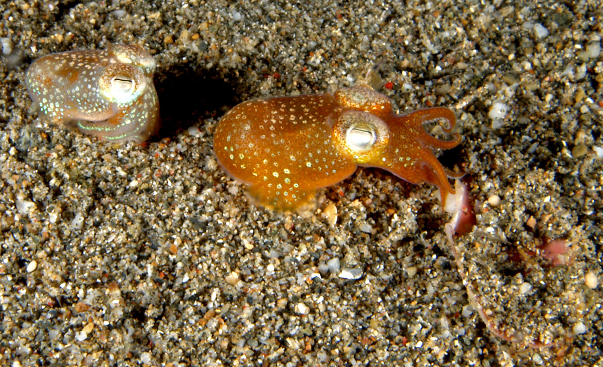 Two tiny squid crawl on ocean floor. One squid is orange with florescent spots, the other is smaller, white and also has spots
