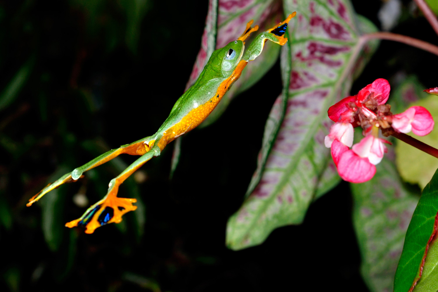 Bright green frog with yellow underbelly and splayed webbed feet leaps with legs sprawled at a pink flower
