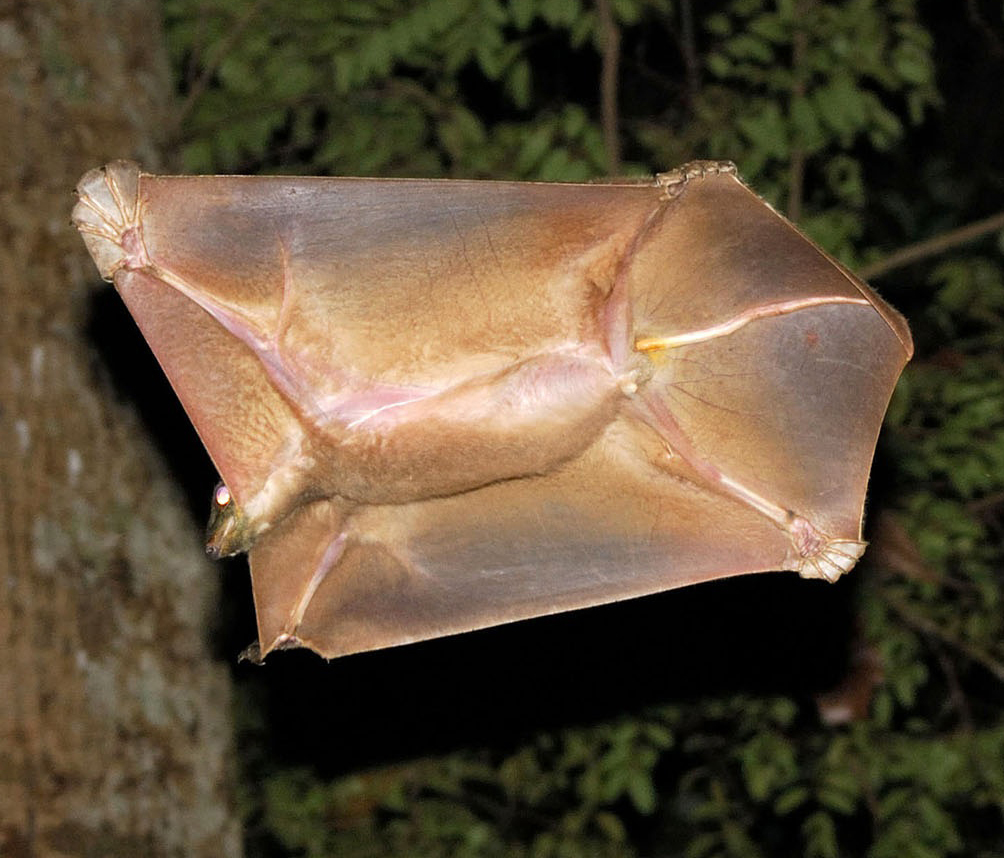 View from below of the underbelly of a leaping rodent-like animal with skin flaps between its sprawled hands, feet and tail