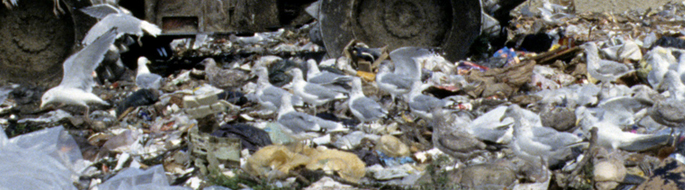 closeup of garbage in landfill, seagulls swarming everywhere