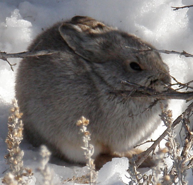 Small brown bunny sits in snow near shrubs.