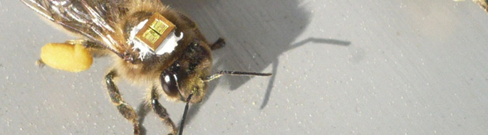 closeup of yellow and brown bee with device glued to it's back