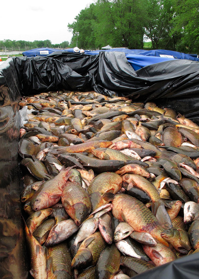 Pile of dead fish in rectangular, black plastic lined container beside tree-lined river.