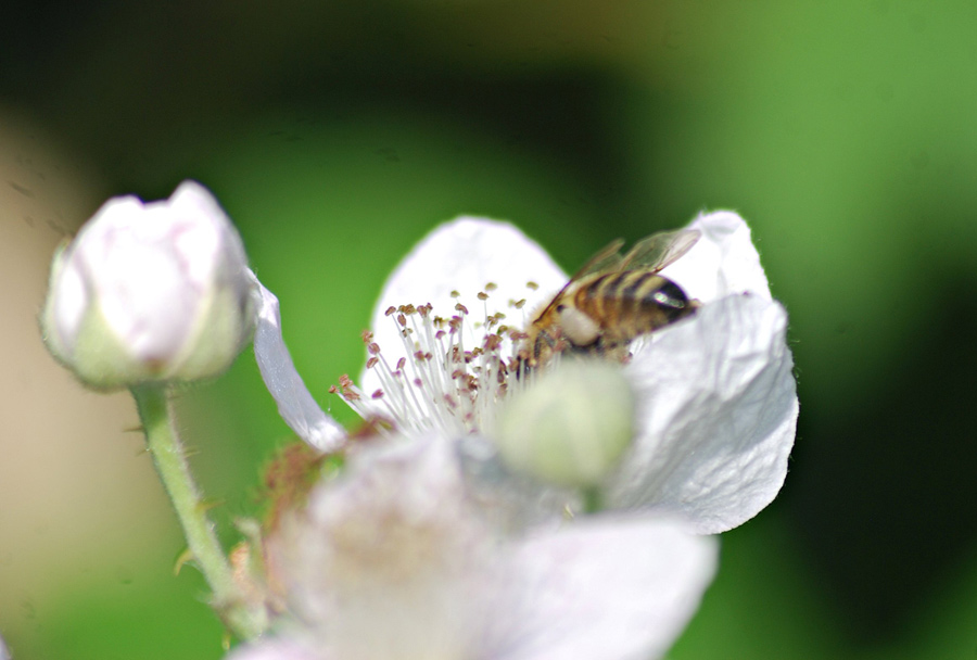 Honeybee almost hidden inside white flower