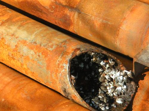 Rusted cylindrical pipes, with one in center cut diagonally open, showing mussel-lined interior