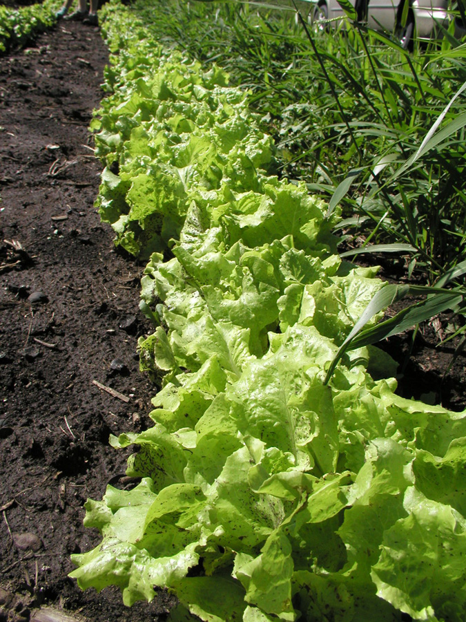 Row of bright green lettuce between  dark brown dirt and tall grass.