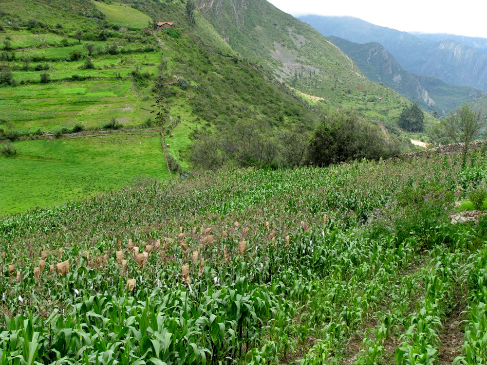 Rows of corn on hillside in foreground and mountains and valleys in distance