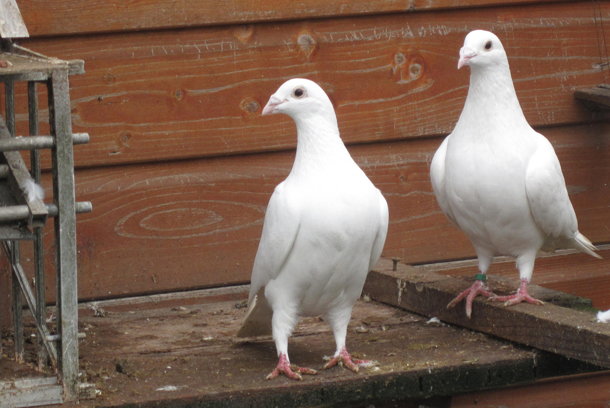 Two white birds stand on wood planks