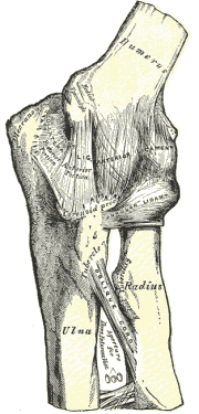 Labeled bones and muscles of the elbow