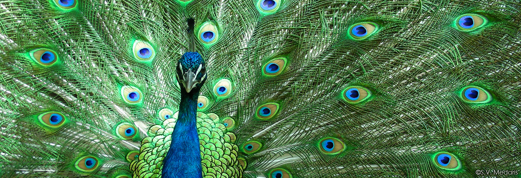 Closeup of peacock head and neck with tail feathers behind