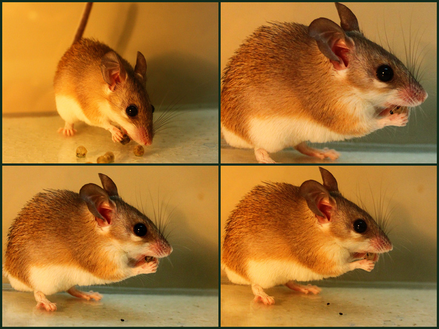 A mouse from Israel's Negev Desert eats berries.