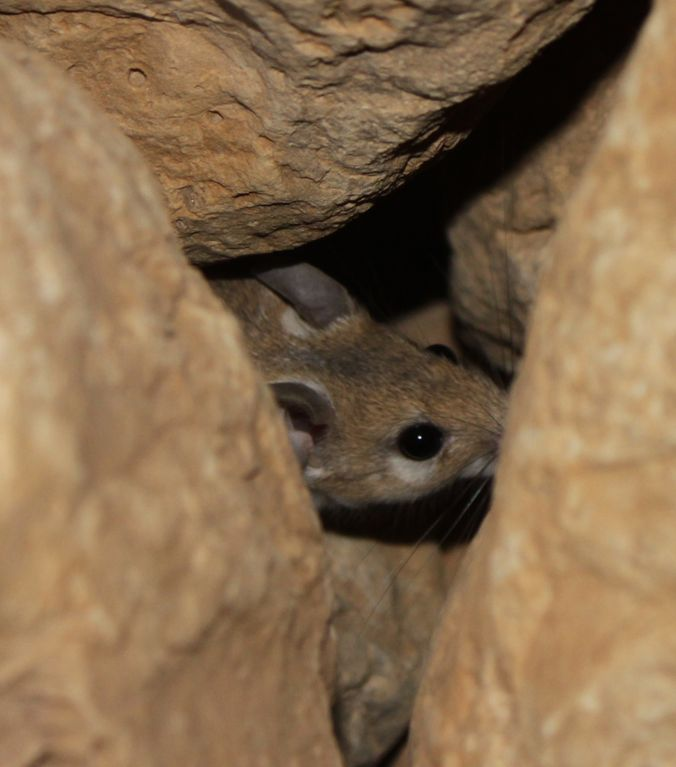 A beige mouse burrowed under beige rocks