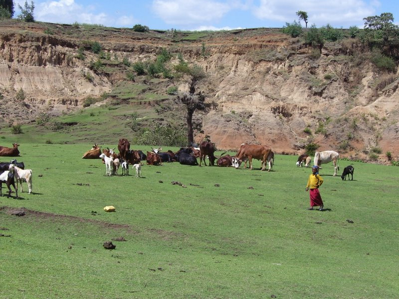 Extremely short green pasture with cattle; cliff in background