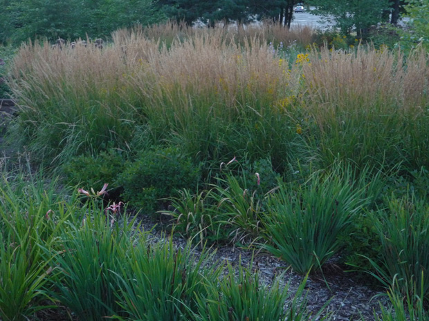 Tall grasses and perennials in planter with mulched soil.