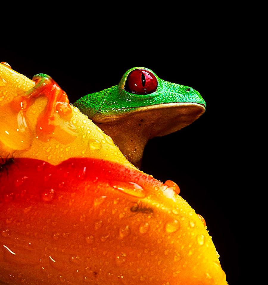 Frog with red eyes, striking fluorescent green body and red feet on bright red flower