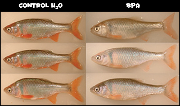 A 3x2 grid of fish showing how controls and BPA affect fish coloration