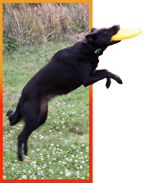 Black dog catches yellow Frisbee in mid-air