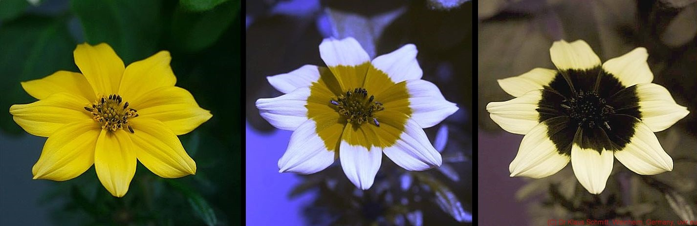 Left: yellow flower; Center: same flower with yellow bullseye on white; Right: same flower with dark bullseye on cream