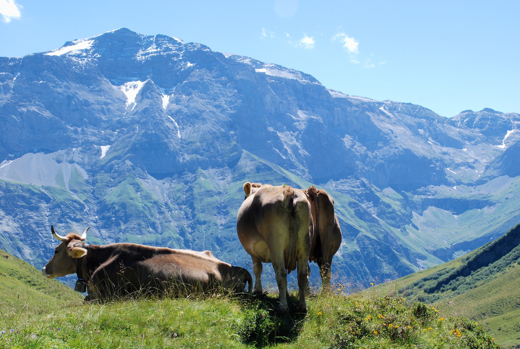 Brown cows with bells on, rest on the top of a grassy ridge, snow-covered Alps in the background