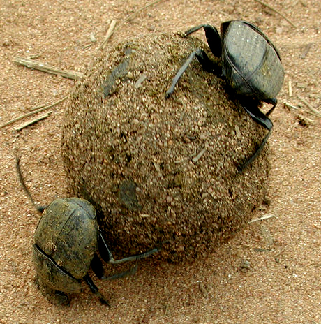Two broad, flat beetles roll a ball of dung across sandy soil.