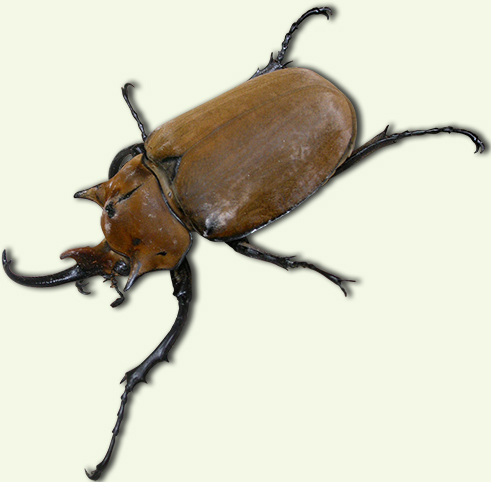 Hard-shelled brown insect with horn-like appendage on head resting on dried leaf.