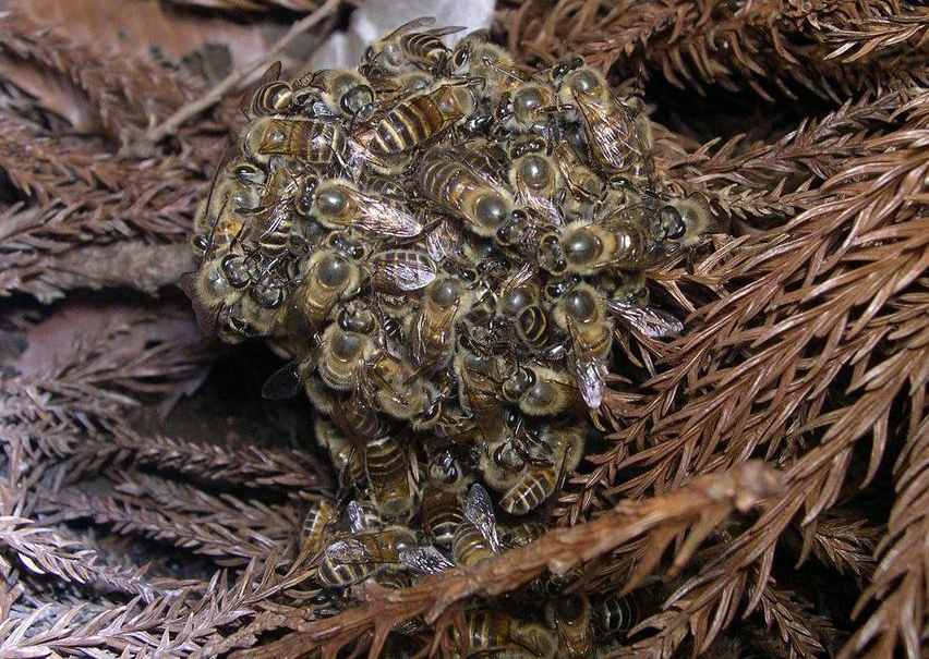 Ball of bees wrap around invisible hornets.