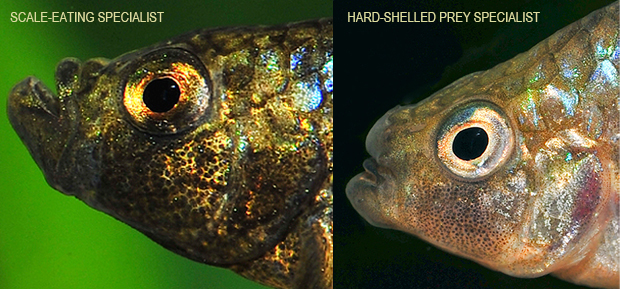 Two fish. Left: iridescent brown with enlarged bottom jaw. Right: light orange with enlarged nose structure.