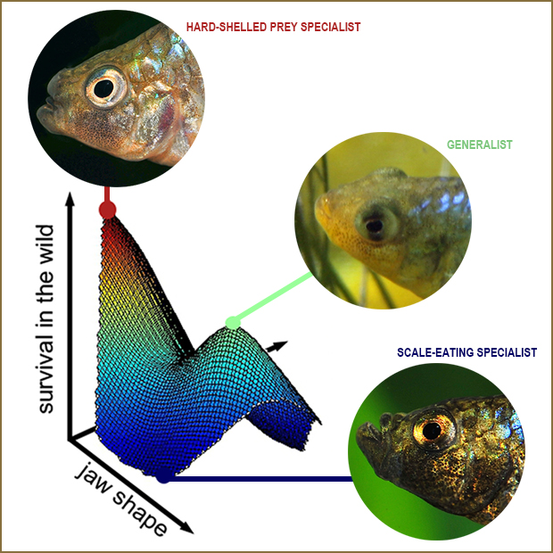 Survival of fish in wild plotted against jaw shape shows higher survival for two of the three fish studied.