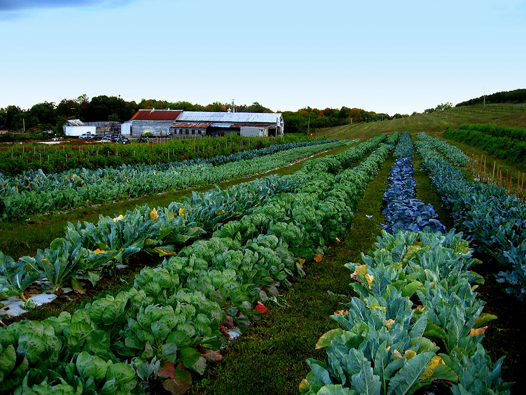 Lush green rows of different brassica plants extend the length of a photograph with red and white farm building in background.