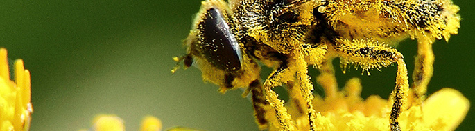 closeup of bee face/upper torso/legs covered in yellow pollen